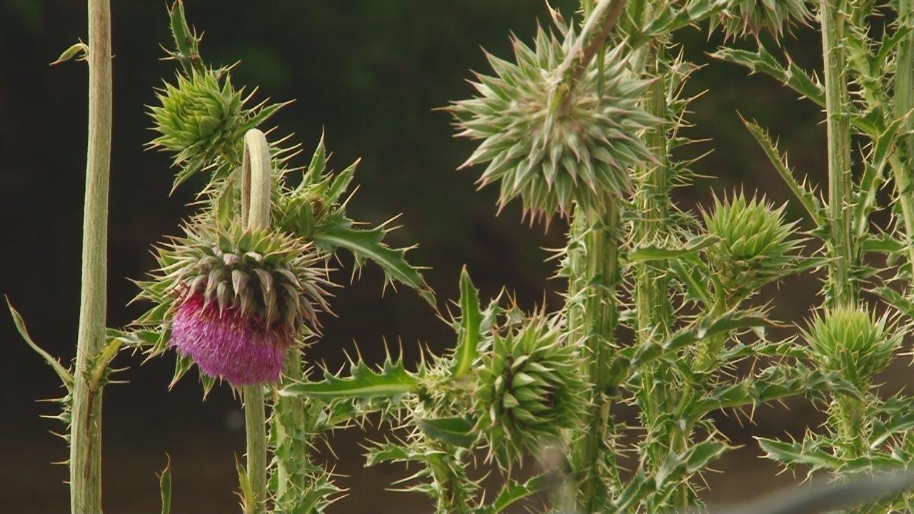 Noxious Weeds In Utah