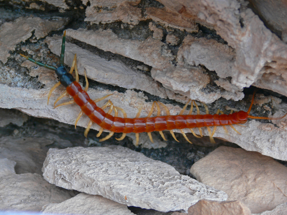 Get Rid of Centipede Problems Once and For All