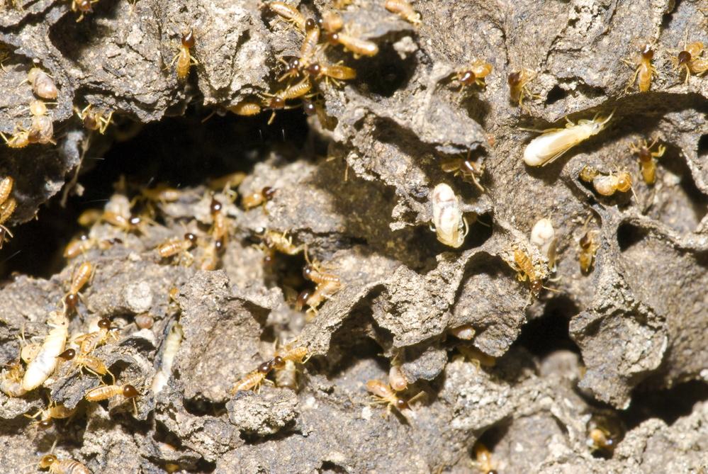 Utah Termites