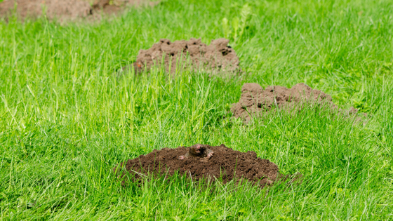 Best Ways to Get Rid of Gophers and Moles