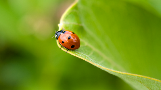 Ladybugs Are They Good Or Bad All Green Pest Control Ut
