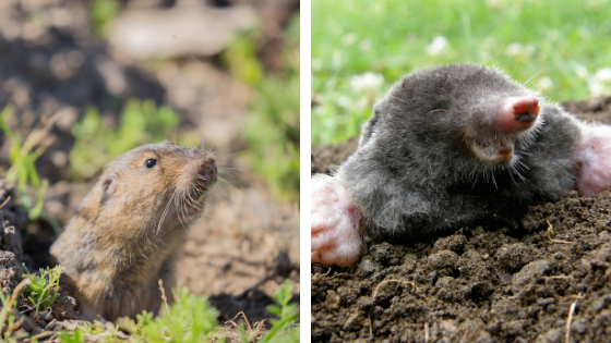 The Difference Between Gophers and Moles