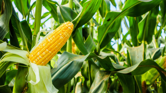 What You Need to Know About Growing Corn