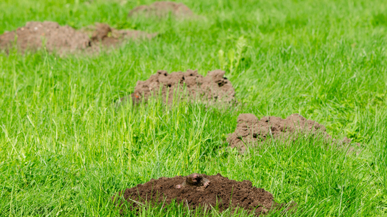 The Damage Gophers, Moles, and Groundhogs Create