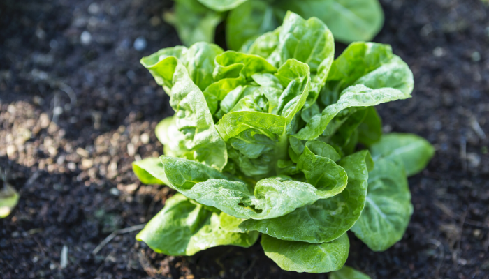 Best Vegetables to Plant