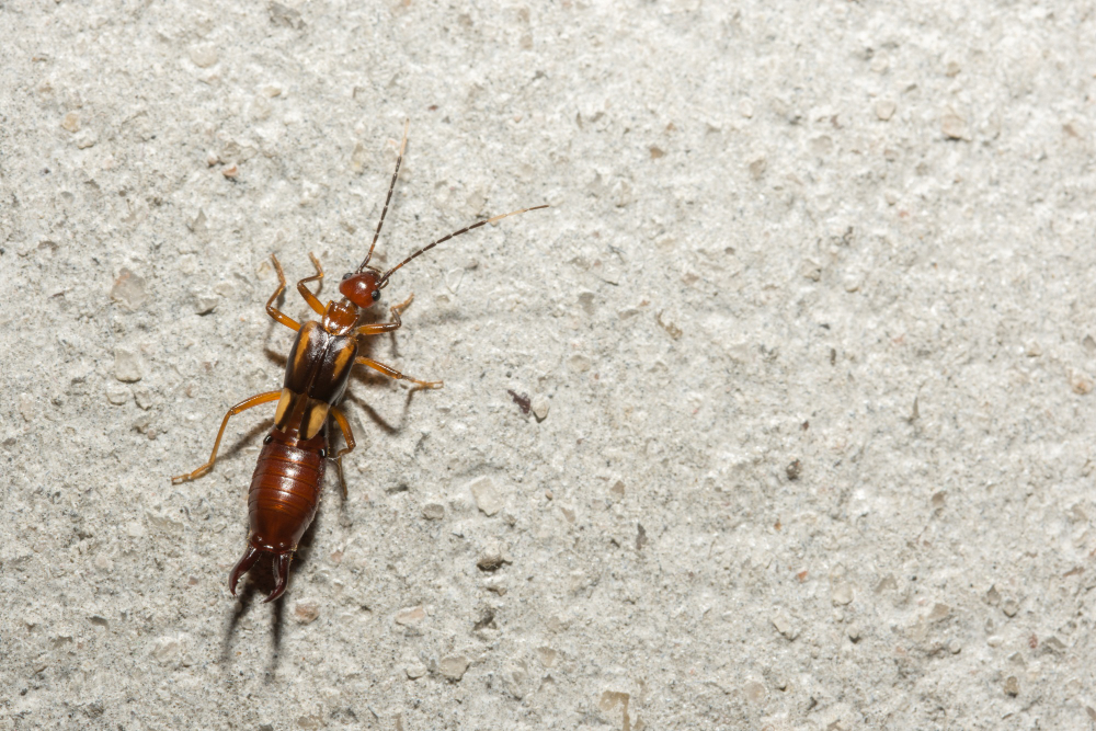 How to Get Rid of Earwigs in Your House and Garden