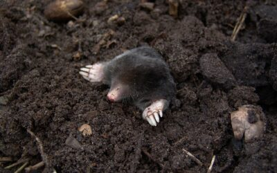How to Get Rid of Moles: A Complete Guide